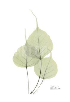Bo Tree in Pale Green Art Print by Albert Koetsier at Art.com