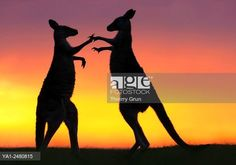 Australia, New South Wales, Murramarang National Park, Pebbly beach, Two Eastern Grey Kangaroos males fighting at sunrise.   © Thierry Grun / age fotostock - Stock Photos, Videos and Vectors