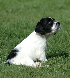 964 Best springers! images | English springer spaniel