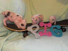 1000 images about mini pigs on pinterest grants pass oregon mini pigs and piglets