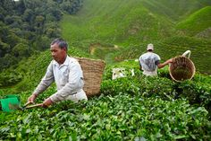 Tea pickers working the hills of the Bharat plantation in Malaysia's Cameron Highlands. http://www.lonelyplanet.com/across-the-planet