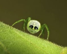 This out-of-this-world spider actually lives down under on the continent of Australia. It's a Green Orbweaver that goes by the scientific name of  Araneus praesignis but that's just fancy talk. What it should really be called is the Alien Butt Spider because, well, check out this things tushie! Those false eye spots it has would definitely be a distraction to any would-be predator that's on its ass (hah!).