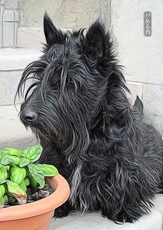 From Italy. Scottish Terrier Art.
