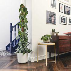 House Plants Decor, Plant Decor, Garden Plants, Indoor Plants, Indoor Garden, Philodendron Scandens, Shingle Colors, Chinese Money Plant, Vivarium