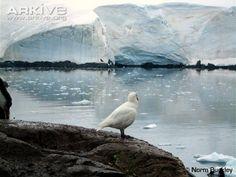 Snowy Sheathbill (Chionis albus) in habitat, Antarctica.