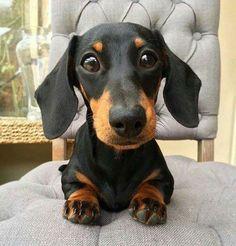 Cute black and tan dotson