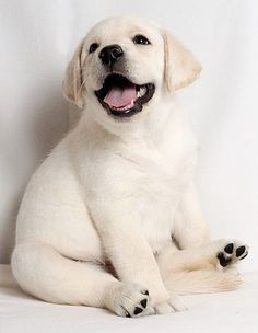 Happy Lab Puppy! ==> visit http://www.amazingdogtales.com/gifts-for-labrador-retriever-lovers/ for cool labbie merchandise