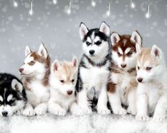 Holiday Husky Puppies!