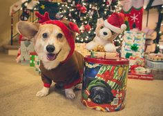 Here comes the last theme week on the Daily Dose of Wally. Welcome to the world of O.C.D. or Obsessive Corgi Disorder. You know you have O.C.D. when you have a corgi stuffed toy. His name is Buster. Tonight he is Santa Paws and Wally is a reincorg th Must Have Pet Insurance! http://www.petinsurance.1800petsandvets.com