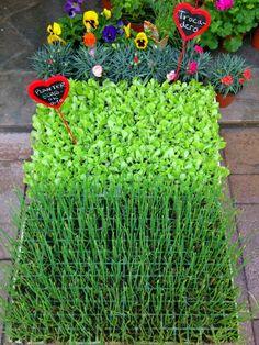 Planter ecològic de ceba i enciam