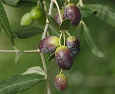 """Olives Veraison From The Apex To The Base """" Casaliva """" Variety -- Pentax K 3 + Leica MC SuperColorplan - Circle Diaphragm -- Fruit Drinks, Olive Tree, Fruits And Veggies, Homestead, Berries, Flowers, Pink, Colors, Fruity Drinks"""