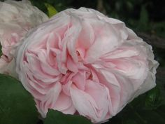souvenir de mal maison,  a rose developed for Napoleon's , Josephine. My gardener dug two up and they were gone!!!!