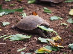 What Kinds of Vegetables Can My Turtle Eat?: Turtle eating a leaf Bearded Dragon Diet, Kinds Of Vegetables, Mammals, Reptiles, Live Long, Exotic Pets, Large Dogs