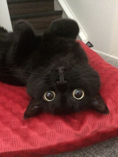 Pretty Cats, Beautiful Cats, Cute Cat Gif, Cute Cats, Adorable Kittens, Cute Baby Animals, Funny Animals, Chesire Cat, Cute Black Cats