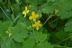 Glistnik jaskółcze ziele - Dar niebios! (Chelidonium majus)