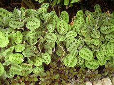 Mobile, Bellingrath Gardens -Prayer plants