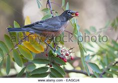 American Robin Perched On Branch Eating A Mountain Ash Berry Stock ...