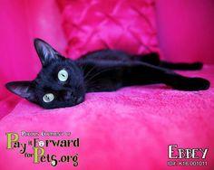 Ebbey * Cat • Domestic Short Hair • Adult • Female • Medium Summit County Animal Control Department Akron, OH