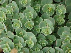 Az októberi varjúháj (Sedum sieboldii) gondozása Alpine Garden, Bonsai, Succulents, Fruit, Green, Plants, Outdoors, Gardening, Google