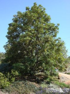Catalina Ironwood, Lyonothamnus floribundus. Evergreen, fast growing, native tree. Great screen tree. Large clusters of cream colored flowers.