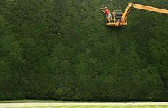 ihan kuriositeettina: vuonna 1720 istutettu marjakuusiaita on n. 20 metriä korkea. Glouchestershire, UK