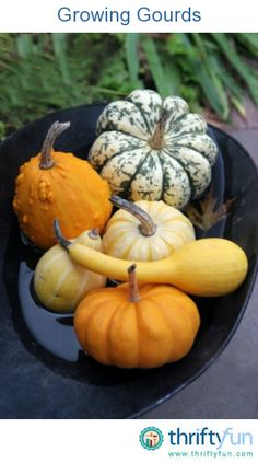 This guide is about growing gourds. Though not very good to eat, gourds are easy to grow and useful in many other ways. How to grow goatds Fruit And Veg, Fruits And Veggies, Zucchini, Grandmas Garden, Decorative Gourds, Winter Vegetables, Squashes, Grow Your Own Food, Edible Garden