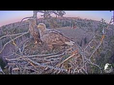 White-tailed eagle eggs are about to be hatched