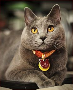Chartreux - Breed Profile:    Origin: France  Colors: Blue (grey)  Size: Medium to large  Coat Type(s): Shorthair  Grooming: Weekly  Talkativeness: Quiet  Activity Level: Average  Attention Requirement: Average  Overall: Easy to handle