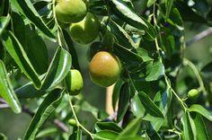 Rboles frutales de hoja perenne arboles frutales for Arboles de hoja perenne y crecimiento rapido para jardin