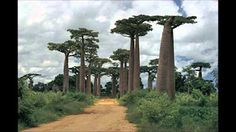 Nuestro Insolito Universo - El Árbol de Madagascar