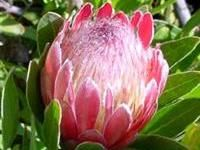 Image of Protea 'Pink Ice'