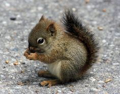 baby squirrel. so so SO cute!!!!!!!!!