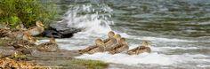 Los patos maiceros y la ola.
