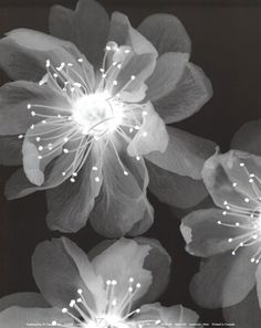 Xray flower - could do by making an acetate image look like an x-ray if you don't have access to an x-ray machine. Xray Flower, Flower Art, Inspiration Artistique, 1 Tattoo, White Art, Black And White Photography, Find Art, Bunt, Art Photography