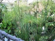「シペラス・パピルス」●水を好む。春から秋は土がずっと濡れていると良い。  ●肥料と水と日光が揃うと非常に大きく育つ(2m)。  ●日光を好む。葉焼けしない。  ●夏の水切れに注意。  ●半日陰でも育ち、室内の明るいところで生育可能。  ●冬は霜に当たると枯れる。  ●冬は水を控えることで0度まで耐えるようになる。