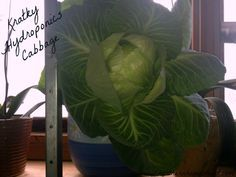 Kratky Hydroponic Cabbage grown indoors in Canadian Winter