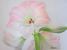 Drawing of pink amaryllis using coloured pencils on paper. Artwork by Sharon Patterson may be PURCHASED at:  http://1-sharon-patterson.fineartamerica.com