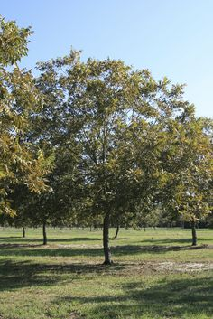 Pecan trees are wonderful to have around. There is little more rewarding than harvesting nuts from your own yard. But there's more to growing a pecan tree than just letting nature take its course. Cutting back pecan trees is important too. Click here for more info.
