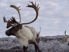 Caribou: Classification automne 2012 Quebec, Goats, Moose Art, Google, Winter, Animaux, Quebec City, Goat