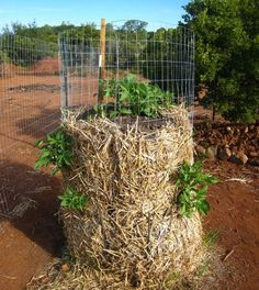 """Potato plants are growing up and """"out"""", poking through straw and fence holes."""