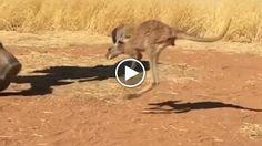 Milly è una cangurina di sei mesi. Vive nel Kangaroo Sanctuary ad Alice Springs, nel nord dell'Australia. Un passante l'ha trovata nella tasca...