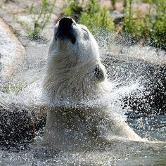 Un oso polar se sacude el agua en el zoológico de Berlín, Alemania, donde se esperan días soleados para los próximos días. Foto: AP