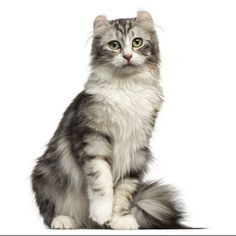 These Cats Are Perfect For People In Apartments and Tiny Homes - American Curl - Ideas of American Curl - small cat breeds american curl The post These Cats Are Perfect For People In Apartments and Tiny Homes appeared first on Cat Gig. American Curl, Fancy Cats, Cute Cats, Curl Americano, Dwelf Cat, Small Cat Breeds, Cat Races, Gatos Cat, Kitty Cats