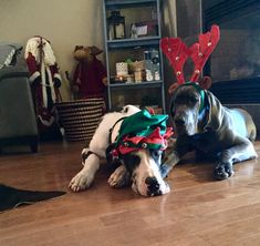 Dec 2017 - Ryker and Diesel . attempting their first Christmas Pictures 2017 Harlequin Great Danes, Blue Great Danes, Merry Christmas 2017, First Christmas, Weimaraner, Dane Puppies, Great Dane Puppy, Dog Rooms, Animal Quotes