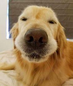 "24.1k Likes, 249 Comments - I Love Golden Retrievers (@ilovegolden_retrievers) on Instagram: ""When you fall asleep but get woken up mid-dream @bz_golden"""