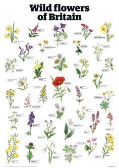 Wild flowers of Britain Art Print by Guardian Wallchart Easyart.com