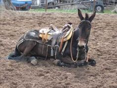 Impressive Mule and trainer