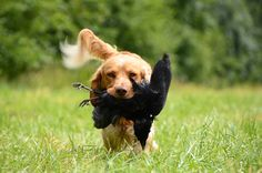 Bird hunting dogs have different levels of potential, but a great factor of their learning can be attributed to how close you treat them as family. Dog With A Blog, Bear Hunting, Hunting Gear, Labrador Retrievers, Dog Behavior, Training Your Dog, Dog Friends, Collie, Cute Dogs