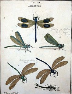 Dragonflies | Moses Harris: An exposition of English insects… | Flickr