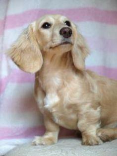 english cream long haired dashund <3